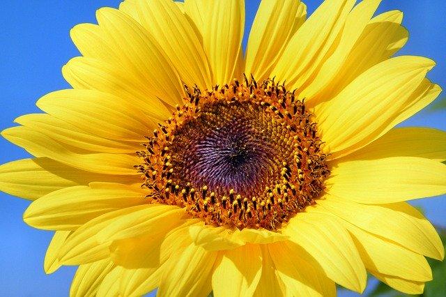 Květ slunečnice